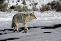 Coyote, Canis latrans, Stock Photos