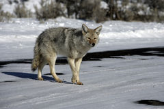 Coyote, Canis latrans, Royalty Free Stock Image