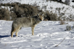 Coyote, Canis latrans, Stock Image