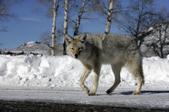 Coyote, Canis latrans, Stock Images