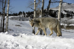 Coyote, Canis latrans, Royalty Free Stock Photography