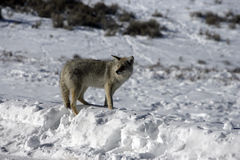 Coyote, Canis latrans, Royalty Free Stock Photos