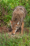Coyote (Canis latrans) Sniffs Ground Outside Den Stock Images