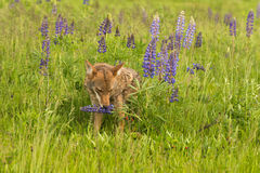 Coyote Canis latrans Sniffs at Lupin Royalty Free Stock Photography