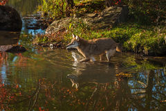 Coyote Canis latrans Splashes in Water Royalty Free Stock Image
