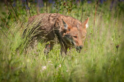 Coyote Canis latrans Stalks Through Grass Stock Photography