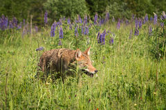 Coyote Canis latrans Stalks Through Grass Stock Images
