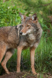 Coyote (Canis latrans) Stands Alert Stock Photography