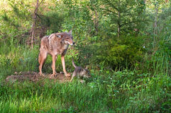 Coyote (Canis latrans) Stands at Den - Pup Runs Right Stock Image