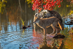 Coyote (Canis latrans) Stands with Front Feet in Water Stock Images