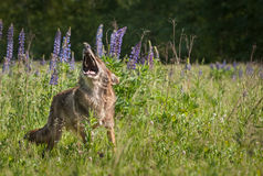 Coyote Canis latrans Stands Howling Copy Space Royalty Free Stock Images