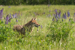 Coyote Canis latrans Stands in the Lupin. Captive animal Stock Photo