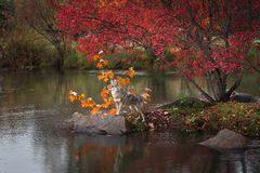 Coyote Canis latrans Stands Paws on Rock Island Autumn royalty free stock photography