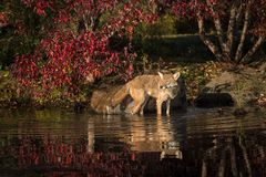 Coyote Canis latrans Stands in Water. Captive animal Stock Photos
