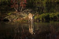 Coyote Canis latrans Stands at Waters Edge. Captive animal Royalty Free Stock Image