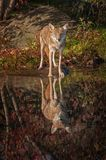 Coyote Canis latrans Stares Out With Reflection. Captive animal Royalty Free Stock Photography