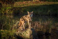 Coyote Canis latrans Stares Out From Rock Stock Image