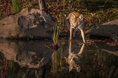 Coyote Canis latrans Steps Into Water Stock Photography
