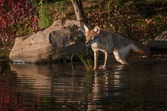 Coyote Canis latrans Stretches Out to Rock. Captive animal Stock Photography