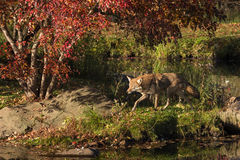 Coyote (Canis latrans) Trots Left Along Shore Stock Photography