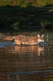 Coyote Canis latrans Up to Neck in Water Stock Image