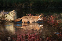 Coyote (Canis latrans) Wades into Water Stock Photo