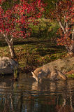 Coyote (Canis latrans) Wades in the Water Royalty Free Stock Image