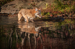 Coyote Canis latrans Wades in Water Royalty Free Stock Photography