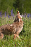 Coyote Canis latrans Walking and Howling Royalty Free Stock Image