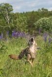 Coyote Canis latrans Walks Forward Howling. Captive animal Stock Image