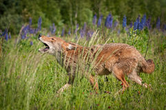Coyote Canis latrans Walks Left Howling Royalty Free Stock Image