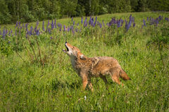 Coyote Canis latrans Walks Left While Howling Stock Photos