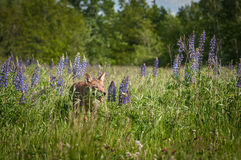 Coyote Canis latrans Walks Through Lupin Stock Photos