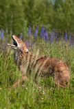 Coyote Canis latrans Walks Right Howling Stock Images