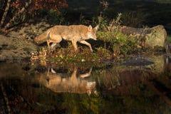 Coyote Canis latrans Walks Right on Island. Captive animal Stock Image