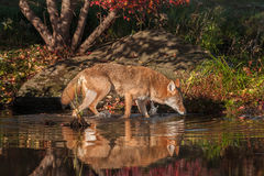 Coyote Canis latrans Walks Right in Water Royalty Free Stock Images