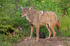 Coyote (Canis latrans) Wary Outside Den Royalty Free Stock Photography