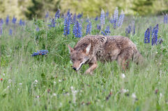 Coyote Canis latrans Waslks Past Lupin Patch Royalty Free Stock Photo
