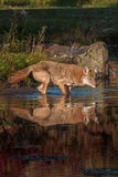 Coyote Canis latrans in the Water Royalty Free Stock Photography
