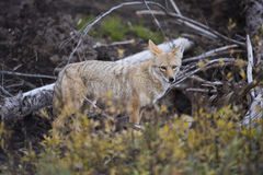 Coyote (Canis Latrans) Royalty Free Stock Photography