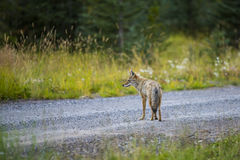 Coyote (Canis Latrans) Royalty Free Stock Photo