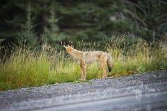 Coyote (Canis Latrans) Stock Photos