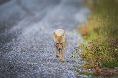 Coyote (Canis Latrans) Stock Images