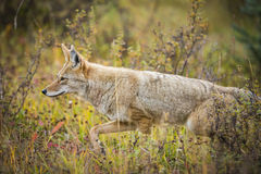 Coyote (Canis Latrans) Royalty Free Stock Photos