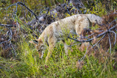 Coyote (Canis Latrans) Royalty Free Stock Photo