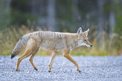 Coyote (Canis Latrans) Royalty Free Stock Photos