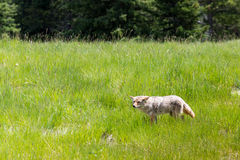 Coyote Canis Latrans. Wild Coyote stalking its prey in a mountain meadow in summer Kananaskis Country Alberta Canada Stock Photos