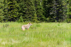 Coyote Canis Latrans. Wild Coyote stalking its prey in a mountain meadow in summer Kananaskis Country Alberta Canada Stock Image