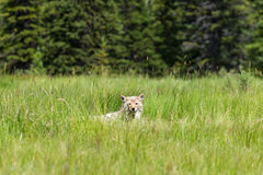 Coyote Canis Latrans. Wild Coyote stalking its prey in a mountain meadow in summer Kananaskis Country Alberta Canada Royalty Free Stock Photo