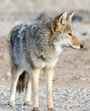 Coyote - Canis latrans Royalty Free Stock Photography